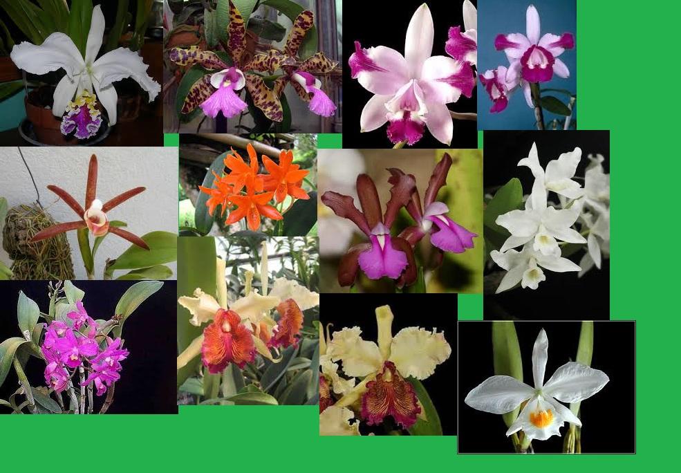 Image result for clasificacion orquidea