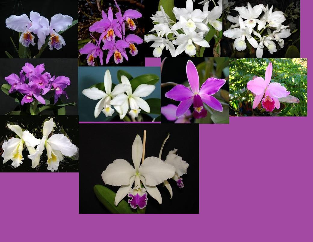 Cattleya for Cuidado de las orquideas moradas